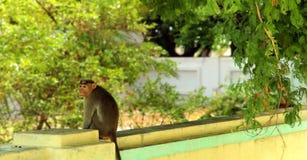 Ein Affe, der morgens auf einer Wand sitzt Stockfotografie