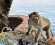Ein Affe, der nach Lebensmittel im Abfall sucht Stockfotografie
