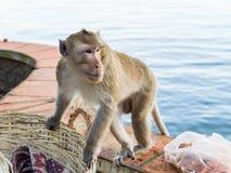 Ein Affe, der nach Lebensmittel im Abfallkorb sucht Lizenzfreies Stockfoto