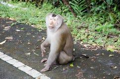 Ein Affe, der nach Lebensmittel sucht Stockbild