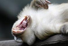 Ein Affe, der seine Zähne zeigt Lizenzfreies Stockbild