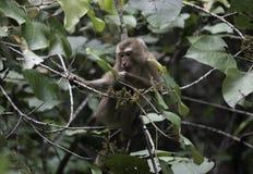 Ein Affe der wild lebenden Tiere Lizenzfreies Stockbild