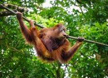 Ein Affe, der am Zoo spielt Stockbild