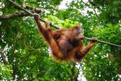 Ein Affe, der am Zoo spielt Lizenzfreie Stockfotos