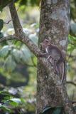 Ein Affe in einem Baum Lizenzfreies Stockfoto