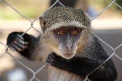 Ein Affe in einem Käfig Stockfotografie