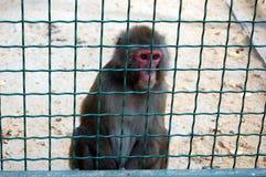 Ein Affe in einem Zoo Lizenzfreies Stockfoto