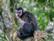 Ein Affe im Argentinien-Dschungel Lizenzfreie Stockbilder
