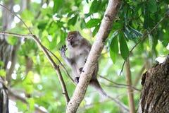 Ein Affe im natürlichen Lebensraum, spielend und sich bewegen, Rawi-Insel, Satun-Provinz, Thailand Lizenzfreies Stockbild