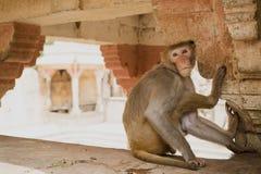 Ein Affe im Affe-Tempel in Jaipur, Indien Lizenzfreie Stockbilder