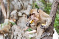 Ein Affe isst Banane Stockbild