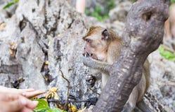 Ein Affe isst Banane Lizenzfreie Stockfotos