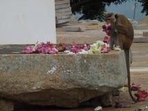 Ein Affe isst Blumen Stockfotos