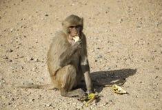 Ein Affe isst eine Banane, die auf dem Sand nahe der Bananenschale sitzt, Stockfotos