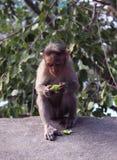 Ein Affe isst Gurke Stockfotos