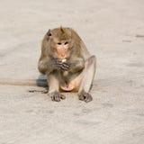Ein Affe isst Mais Stockbilder