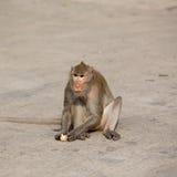 Ein Affe isst Mais Lizenzfreie Stockfotografie