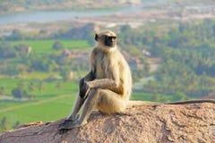 Ein Affe mit einem schwarzen Gesicht oder einer Schnauze sitzt auf einen Berg herein Stockfotos