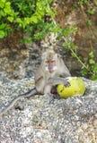 Ein Affe mit einer Kokosnuss im wilden, Indonesien die Insel des Bas Stockbild