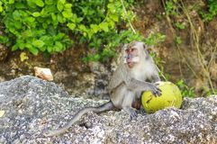 Ein Affe mit einer Kokosnuss im wilden, Indonesien die Insel des Bas Lizenzfreie Stockfotografie