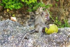 Ein Affe mit einer Kokosnuss im wilden, Indonesien die Insel des Bas Stockfoto