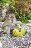 Ein Affe mit einer Kokosnuss im wilden, Indonesien die Insel des Bas Lizenzfreie Stockfotos