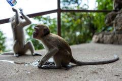 Ein Affe nahe dem Batu höhlt in Kuala Lumpur aus Lizenzfreie Stockbilder