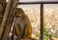 Ein Affe saß mit der Ansicht von Kathmandu hinter ihr Stockfotos