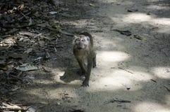 ein Affe schaut in der Kamera Lizenzfreies Stockfoto