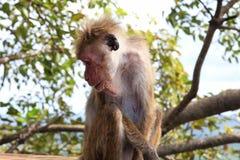 Ein Affe in Sigiriya Stockfoto