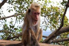 Ein Affe in Sigiriya Lizenzfreie Stockbilder