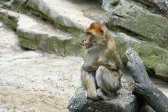 Ein Affe sitzt auf einem Stein schauen Sie nach links Lizenzfreie Stockfotografie