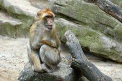 Ein Affe sitzt auf einem Stein Schauen Sie rechts Lizenzfreies Stockbild