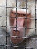 Ein Affe sitzt in einem Zoo Lizenzfreie Stockfotografie