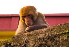 Ein Affe tief im Gedanken, der über einer Steinwand schaut Lizenzfreie Stockfotos
