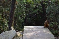 Ein Affe um Wulingyuan-Naturschutzgebiet Sie finden etwas von Th Stockfoto