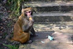 Ein Affe um Wulingyuan-Naturschutzgebiet Sie finden etwas von Th Lizenzfreies Stockfoto