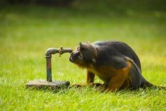 Ein Affe und ein Wasserhahn Lizenzfreies Stockbild