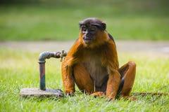 Ein Affe und ein Wasserhahn Lizenzfreie Stockfotografie