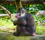 Ein Affe am Zoo Stockbilder
