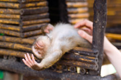 Ein Affejunges betrachtet seine kleine Hand Lizenzfreie Stockbilder