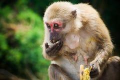 Ein Affesitzen und isst Banane Stockfotografie