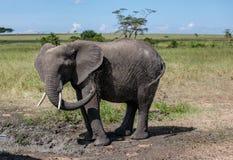 Ein afrikanischer Bush-Elefant, der ein Schlammbad hat Lizenzfreie Stockbilder