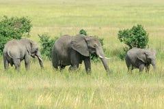 Ein afrikanischer Bush-Elefant mit zwei Generationen, die in die Savanne einziehen Lizenzfreies Stockbild