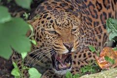 Ein afrikanischer Leopard verwirrt am Fotografen Lizenzfreies Stockbild