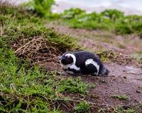 Ein afrikanischer Pinguin, der auf Sand stillsteht stockbild