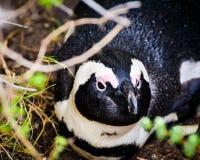 Ein afrikanisches Pinguin-Stillstehen lizenzfreie stockfotografie