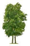 Ein Ahornbaum auf einem weißen Hintergrund Lizenzfreie Stockfotografie