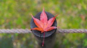 Ein Ahornblatt auf dem Hintergrund des grünen Grases der Anmeldung Stockfotos