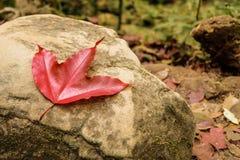 Ein Ahornblatt auf einem Stein Lizenzfreies Stockfoto
